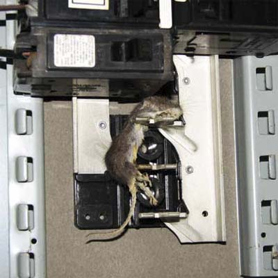 dead rodent stuck in an electrical panal