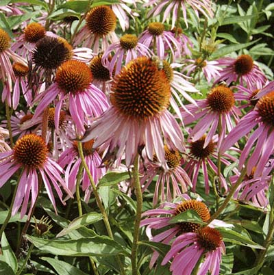 purple daisy-like flower with large cone-shaped center disk called purple coneflower or echinacea purpurea