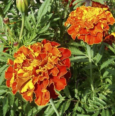 orange french marigolds