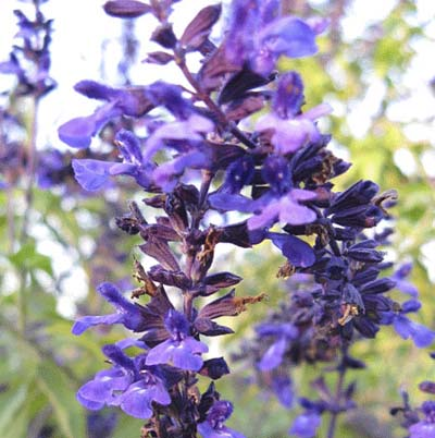 small purple blooms of the salvia indigo spires