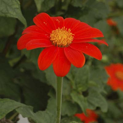 bright orange daisy-like flower called Mexican sunflower
