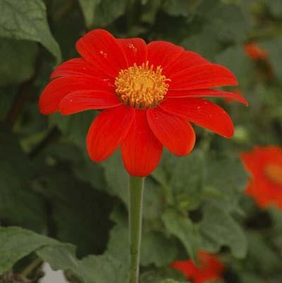 bright orange daisy-like flower called Mexican sunflower