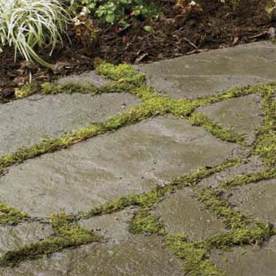 stepping plants for groundcover