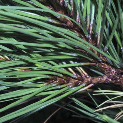 leaves of loblolly pine tree