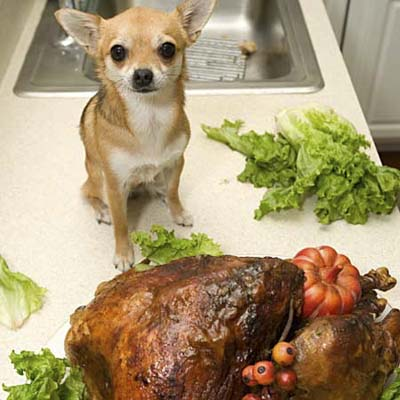 small dog on kitchen counter overlooking a large turkey