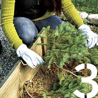 gloved hands laying boughs from a christmas tree over perennial beds