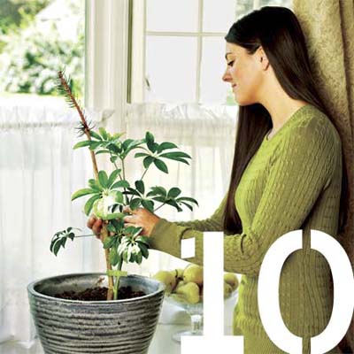 woman using a christmas tree twig to stake a potted plant