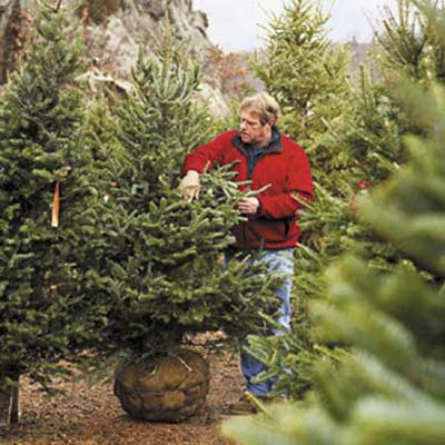 roger cook checking out a tree at a tree farm