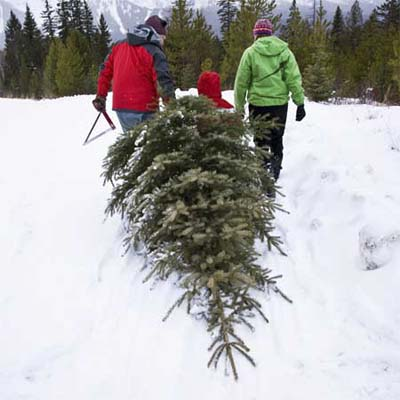 two people dragging a freshly cut christmas tree through the snow