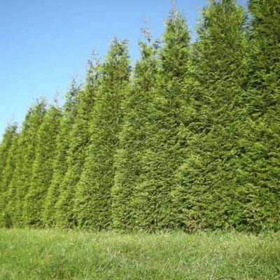 plant an evergreen screen evergreen privacy screens
