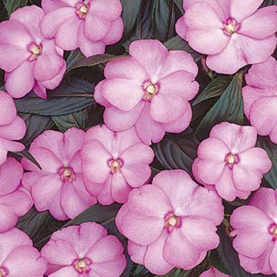 closeup of blooming Impatiens suitable for making a cutting