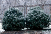 shrubs covered in snow exposed to the winter weather