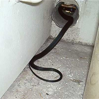 a large snake slithering into a dryer vent