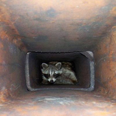 raccoon trapped in the chimney seen on home inspection