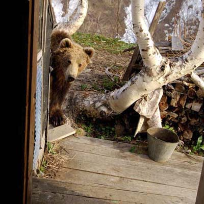 bear sneaking around the back door
