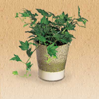 english ivy air cleaning house plant
