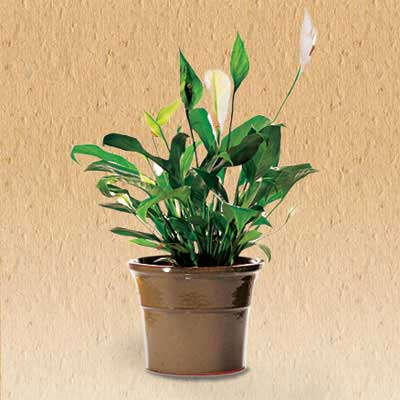 Peace Lily air cleaning house plant