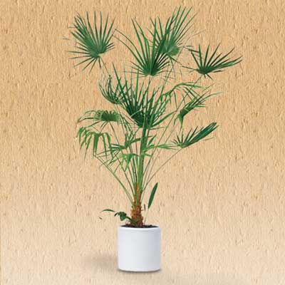 Lady Palm air cleaning house plant