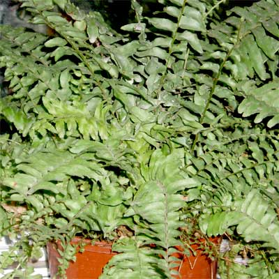 boston fern air cleaning house plant
