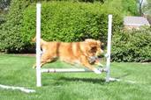 dog jumping over hurdle on agility course