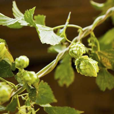 golden hop vine