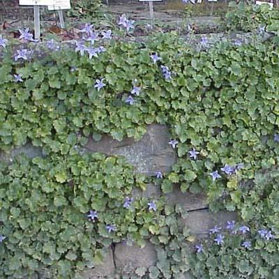 campanula covering stone wall