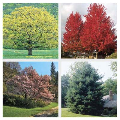 4 types of tree: Northern Red oak, Freeman maple, Sargent cherry and White pine