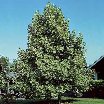 Tulip tree, a type of shade tree