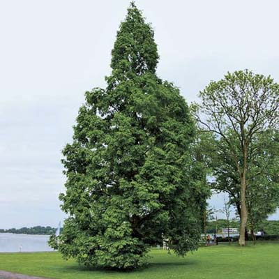 Dawn redwood, a type of screening tree