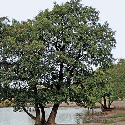 European black alder, a type of screening tree