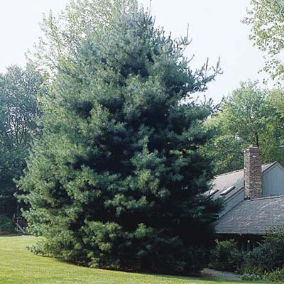 Eastern whit pine, a type of screening tree