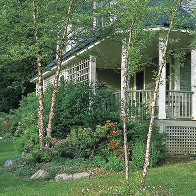 Heritage river birch, a type of ornamental tree