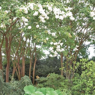 'Natchez' crape myrtle, a type of ornamental tree
