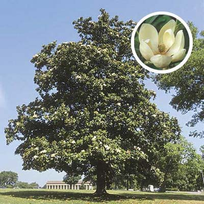 Sweet bay magnolia, a type of ornamental tree