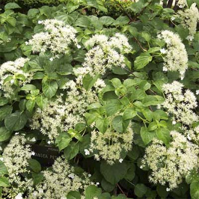 Climbing Hydrangea Front Yard Plantings To Make An