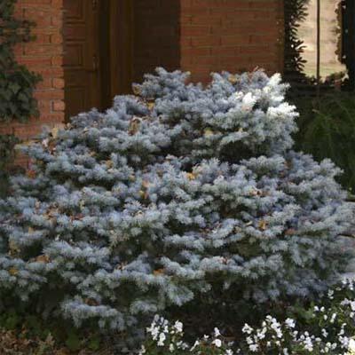 dwarf colorado spruce