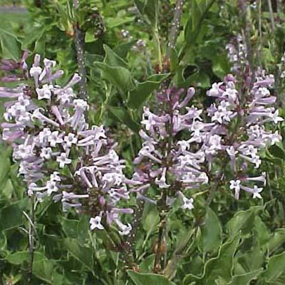 manchurian lilac