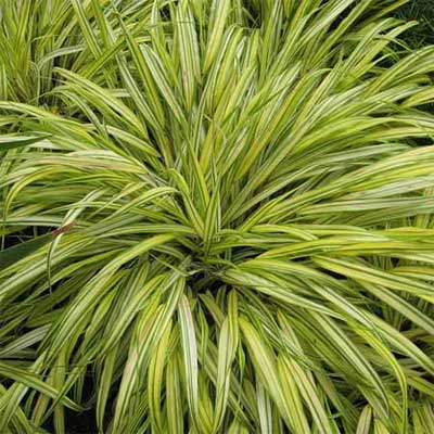 Hakone grass 12 best plants for black thumbs this old for Hearty ornamental grasses
