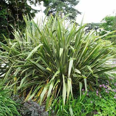 large, sword-shaped leaves of the New Zealand flax plant