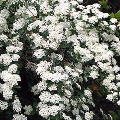 deciduous spirea shrub