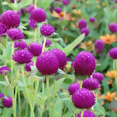 Globe amaranth gomphrena globosa best garden flowers for color all summer this old house - Flowers that bloom all year round ...
