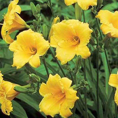 stella de oro daylily