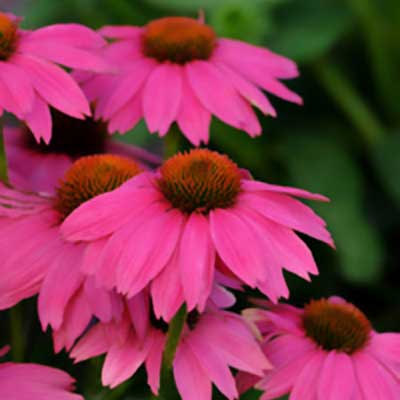 Coneflower Flowers on Purple Coneflower  Echinacea Purpurea    Best Garden Flowers For Color
