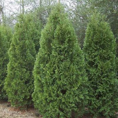 Nigra arborvitae  privet hedges evergreen screens