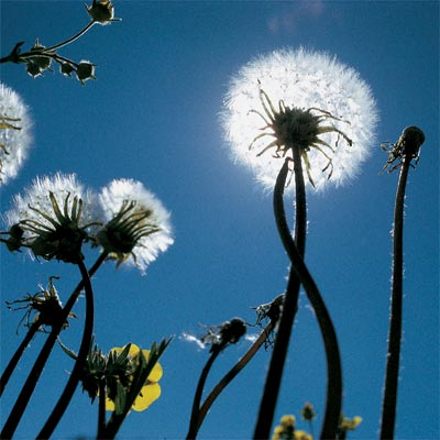dandelions weeds