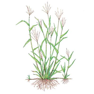 crabgrass weeds