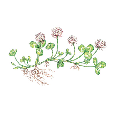 white clover weeds