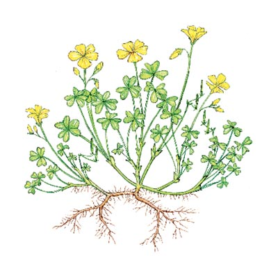 yellow woodsorrel weeds