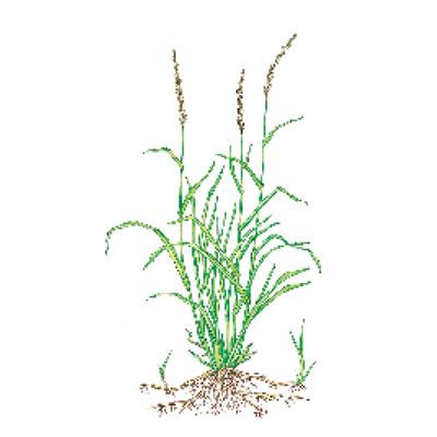 quackgrass weeds