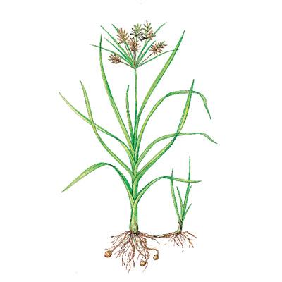 yellow nutsedge weeds